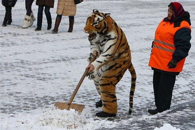 тигр чистит снег