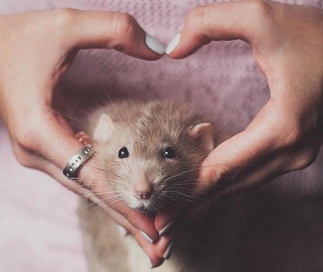 крыса в женских руках